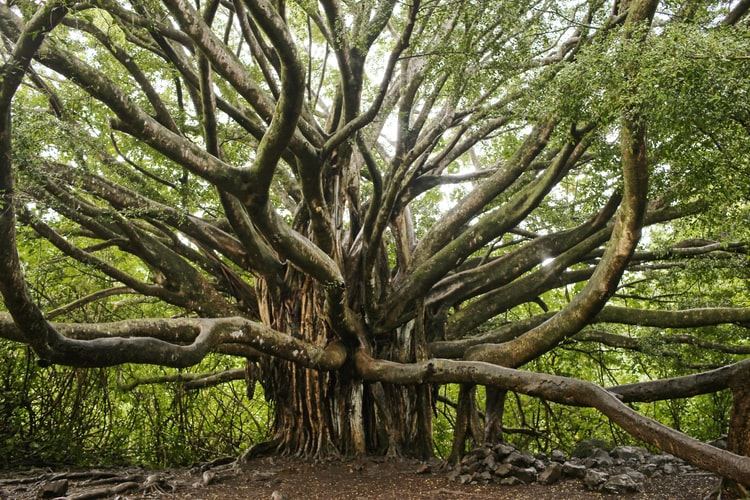 How to plant Banyan trees by stem cutting