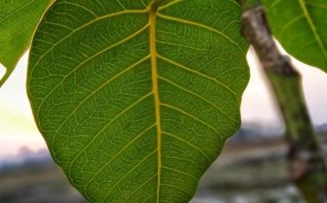 Busting Peepal tree myths
