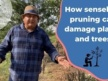 How can senseless pruning damage trees?